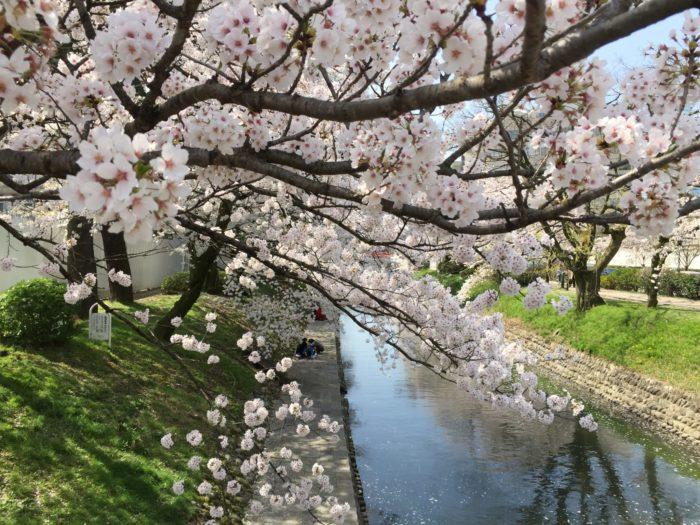 桜の種子は桜です